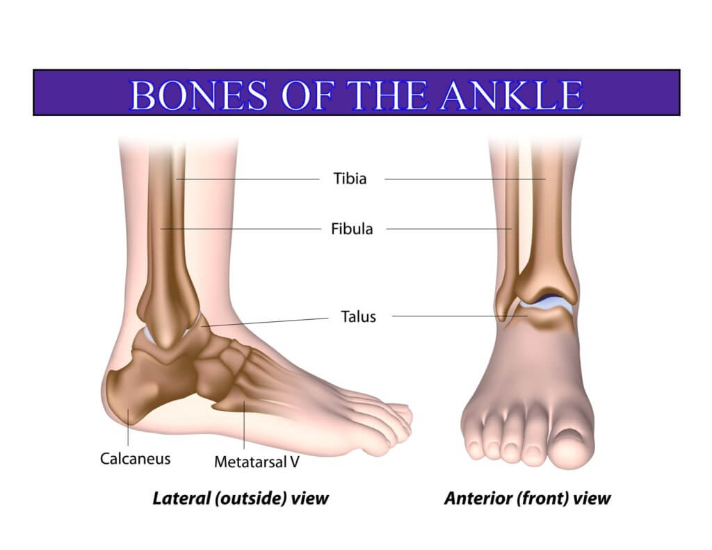 Bones in the Ankle